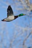 Pato silvestre Duck Flying Past los árboles del invierno fotografía de archivo
