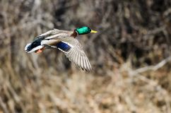 Pato silvestre Duck Flying Past los ?rboles del invierno fotos de archivo libres de regalías