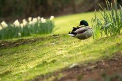 Pato silvestre Duck On Grass Fotografía de archivo libre de regalías