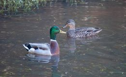 Pato silvestre Duck Green Grass Lake Together fotografía de archivo
