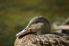Pato silvestre Duck Portrait Imágenes de archivo libres de regalías
