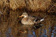 Pato silvestre Duck Reflecting Fotografía de archivo libre de regalías