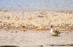 Pato silvestre Duck On Rocks Foto de archivo libre de regalías