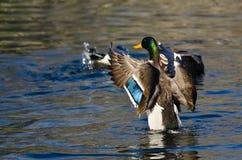 Pato silvestre Duck Stretching Its Wings en el agua Imagen de archivo