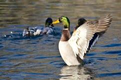 Pato silvestre Duck Stretching Its Wings en el agua Imágenes de archivo libres de regalías