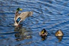 Pato silvestre Duck Stretching Its Wings en la compañía de amigos Foto de archivo