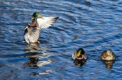 Pato silvestre Duck Stretching Its Wings en la compañía de amigos Imagenes de archivo