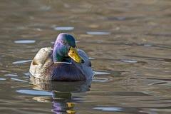 Pato silvestre Duck Swimming en una charca fotografía de archivo libre de regalías