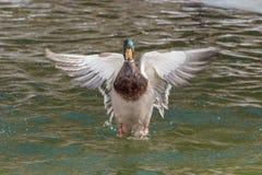 Pato silvestre Duck Wings Spread Imagen de archivo libre de regalías
