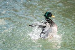 Pato silvestre Duck Wings Spread Splash Foto de archivo