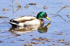 Pato silvestre en agua tranquila. Fotografía de archivo