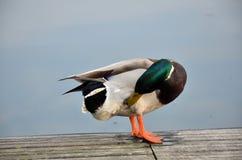 Pato silvestre en el lago Foto de archivo libre de regalías