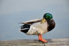 Pato silvestre en el lago Imagen de archivo libre de regalías