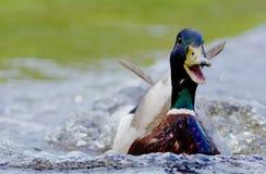 Pato silvestre en un lago adentro, Suecia fotografía de archivo