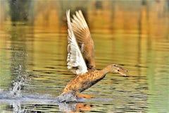 Pato silvestre en una rabia fotos de archivo
