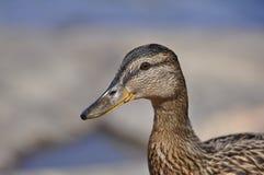 Pato silvestre femenino Imagenes de archivo