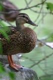Pato silvestre femenino Imagen de archivo