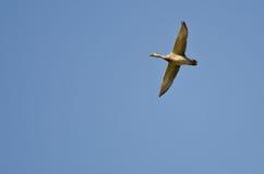 Pato silvestre femenino Duck Flying en un cielo azul Fotografía de archivo