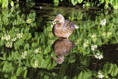 Pato silvestre femenino Duck Wading en el lago imagen de archivo libre de regalías