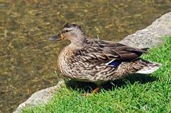 Pato silvestre femenino en el riverbank, Bourton en el agua imagen de archivo
