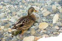 Pato silvestre femenino (platyrhynchos de las anecdotarios), colocándose en invierno en las rocas en el río limpio no congelado Fotos de archivo