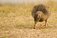 Pato silvestre femenino que introduce imagen de archivo libre de regalías
