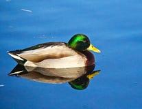Pato silvestre masculino Imágenes de archivo libres de regalías