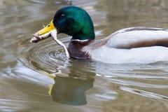 Pato silvestre masculino con la natación de la rana Imagen de archivo libre de regalías