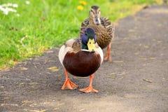 Pato silvestre masculino Duck Female y patos del varón Fotografía de archivo