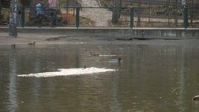 Pato silvestre masculino Duck Flying almacen de metraje de vídeo