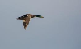 Pato silvestre masculino en vuelo Fotografía de archivo
