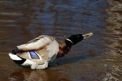 Pato silvestre masculino que sacude de descensos del agua Imagen de archivo libre de regalías