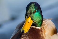 Pato silvestre o pato salvaje fotografía de archivo libre de regalías