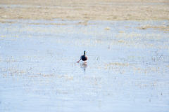 Pato silvestre patinador Imagenes de archivo