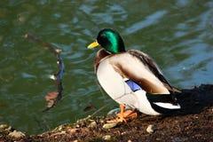 Pato silvestre perezoso Imágenes de archivo libres de regalías