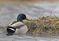 Pato silvestre (platyrhynchos de las anecdotarios) fotografía de archivo libre de regalías