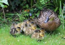 Pato silvestre, platyrhynchos de las anecdotarios, con los anadones jovenes Imagen de archivo libre de regalías