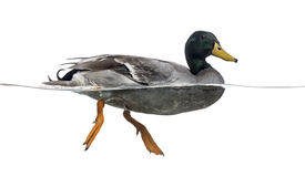 Pato silvestre que flota en el agua, platyrhynchos de las anecdotarios Imágenes de archivo libres de regalías