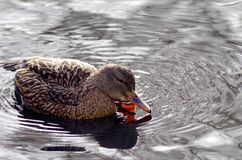 Pato silvestre que rasguña su cara con el pie mientras que en el agua imágenes de archivo libres de regalías