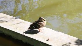 Pato silvestre que se sienta en el encintado del lago almacen de metraje de vídeo