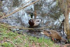 Pato silvestre salvaje Imagen de archivo libre de regalías