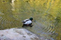 Pato silvestre salvaje Fotografía de archivo