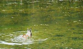 Pato silvestre sumergido, lago Antorno Foto de archivo