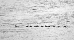 Pato silvestre y anadones Fotografía de archivo