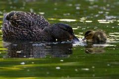 Pato silvestre y polluelo Imagenes de archivo