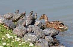 Pato silvestre y tortugas Foto de archivo libre de regalías