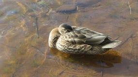 Pato soñoliento en el río Noruega foto de archivo libre de regalías