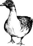 Pato tirado mão Imagem de Stock Royalty Free