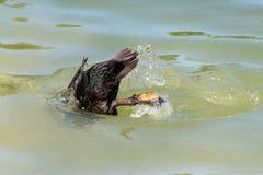 Pato usando os p?s palmados para mergulhar abaixo da superf?cie da ?gua fotografia de stock