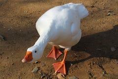 Pato welcomming Fotos de archivo